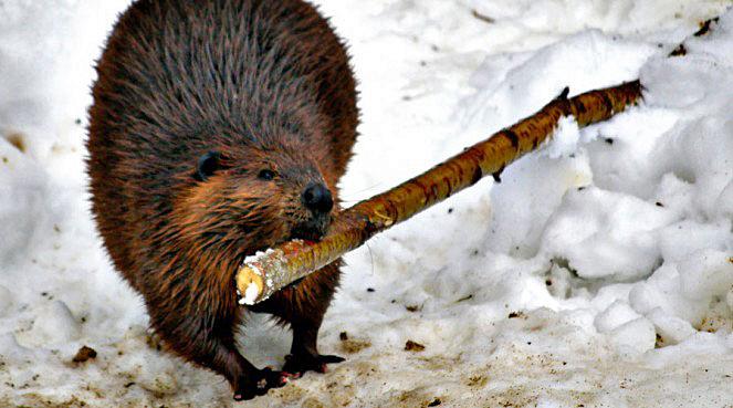 beaver-butt-663x369